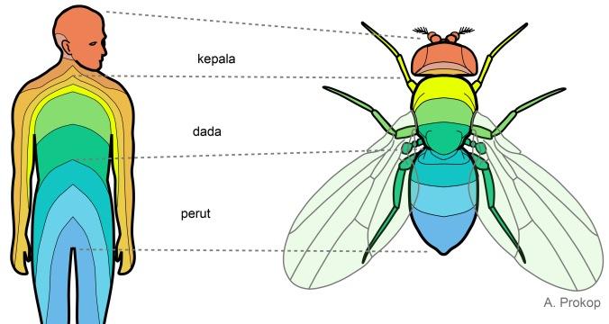 Lalat dan manusia menunjukkan anatomi segmental (warna berbeda) yang terbagi menjadi kepala, dada dan perut