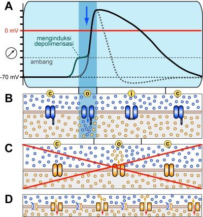 Figure. Jika kanal kalium tergantung-tegangan mengalami kerusakan, potensial aksi mengalami repolarisasi yang jauh lebih lambat, sehingga berpotensi menyebabkan potential aksi berada di atas ambang batas saat kanal natrium terlepas dari periode refraksi.