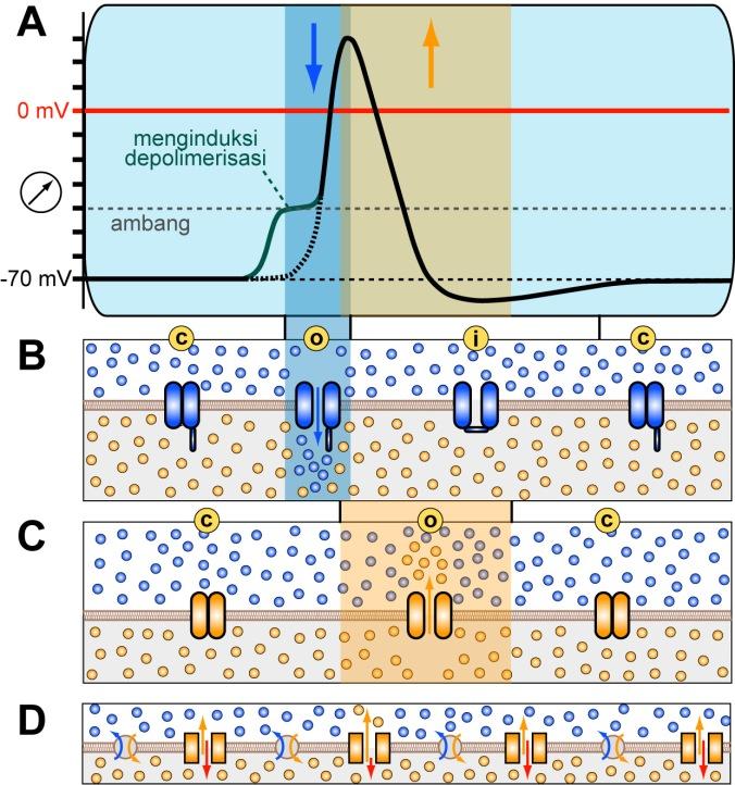 Gambar 6. Langkah 5 adalah potensial aksi yang sebenarnya (A) yang dicapai melalui pengintegrasian langkah 1-4 (BD) dalam urutan yang benar; bandingkan Gambar. 5 untuk penjelasan dan simbol. B) Ketika stimulus eksternal menggeser potensial membran di atas ambang batas (segmen kurva merah), saluran natrium tergantung-tegangan akan terbuka dan dengan cepat menutup kembali (zona biru), mendorong potensial membran menuju ke nilai positif (di atas garis merah). C) Potensi membran yang meningkat memicu pembukaan saluran kalium tergantung-tegangan yang hanya menutup secara bertahap, mendorong potensial membran kembali ke nilai di bawah potensial istirahat. D) Pompa dan kanal istirahat (resting channels) berkontribusi terus menerus; Ketika terjadi perubahan potensial membran, laju masuk/influks (panah merah) dan laju keluar/efluks (panah jingga) dari ion kalium melalui kanal istirahat secara otomatis bergeser sehingga membawa potensial istirahat kembali ke nilai normal secara bertahap.