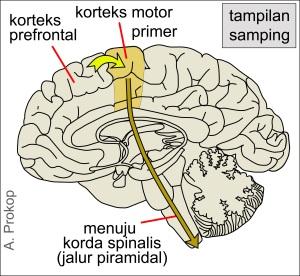 Gambar 1. Keputusan untuk bergerak dikirimkan ke korteks motorik primer (panah kuning) lokasi sumber sinyal dikirimkan untuk menuju ke korda spinalis(panah jingga).