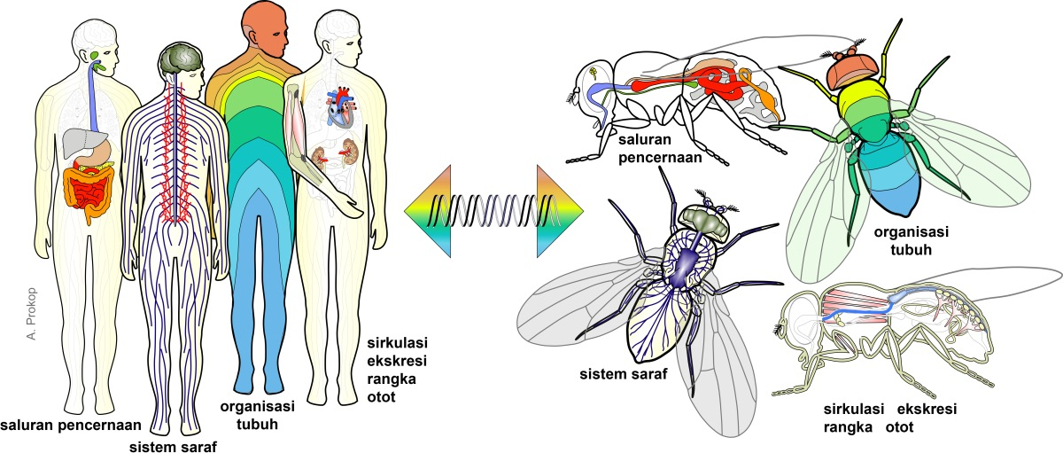 For almost every organ in humans there is a match in flies, and common genes regulate their development, organisation and function.