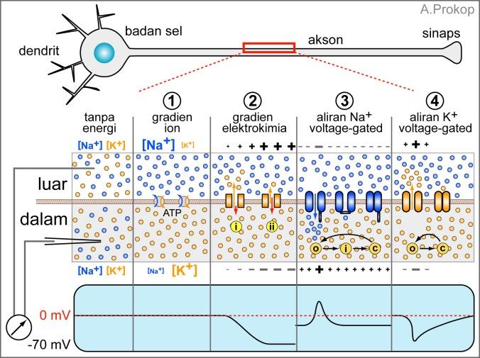 Gambar 5. Empat langkah pertama menuju potensial aksi.Gambar di baris tengah menunjukkan bagian membran akson yang memisahkan bagian dalam / bagian luar sel